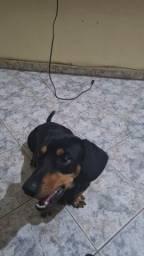 Basset dachshund a procura de namorada