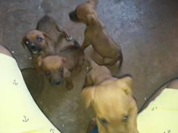 Filhotes de boxer com labrador