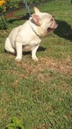 Bulldog frances fêmea.