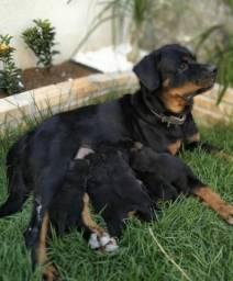 Lindos filhotes de Rottweiler a venda