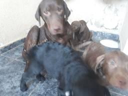 Filhotes labrador 3 meses