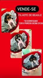 Filhote de beagle macho, 1 mês