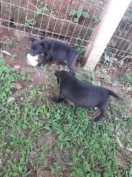 Cachorros pitbull rednose n é puro