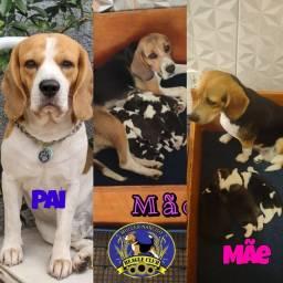 Título do anúncio:  Beagle tricolor 13 polegadas com pedigree !