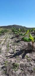 Título do anúncio: Roça de banana da terra irrigado terra boa pra plantar cafe....toda IRRIGADA