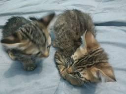 Título do anúncio: Doação de gato com raça