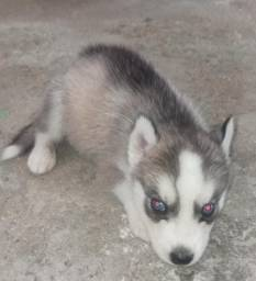 Husky siberiano 41 dia de vida