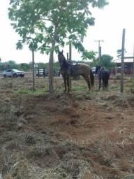 Vende-se Cavalo Campolina