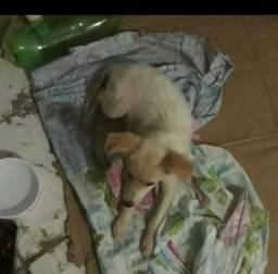 Cachorro Poodle Raciado