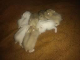 Vendo Filhote De Hamster 10Reais