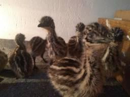 EMU australiano a pronta entrega