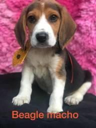 Macho de beagle em loja especializada em filhotes