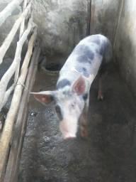 Porco Piatran para barrao