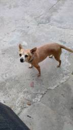 Cachorro pichi 2