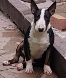 Reprodutor Bull terrier