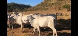 Novilhas e vacas de genética prenhas