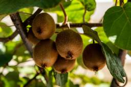 Kiwi é uma planta dióica, ou seja, apresenta sexos diferentes em plantas diferentes