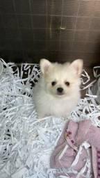Título do anúncio: Fofinho lulu com pedigree