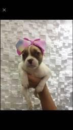 Título do anúncio: Filhotes disponíveis de Bulldog americano