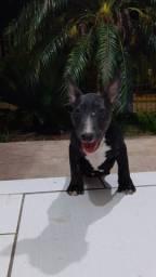 Bull terrier fêmea