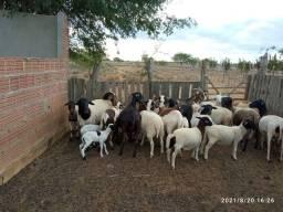 Título do anúncio: Vendo lote de ouvinos e caprinos