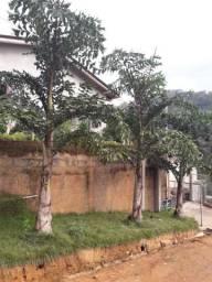 Pés de palmeira