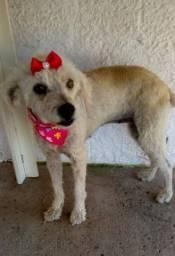 Doação Poodle em Criciúma