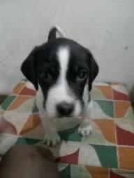 Beagle filhotes (nao respondo chat) *contato na descricao do anucio