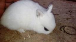 Vendo mini coelho neterlhand