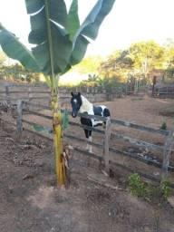 Título do anúncio: Cavalo Mangalarga Pampa de preto.