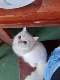 Gato persa angorá