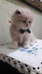 Título do anúncio: Gato persa macho