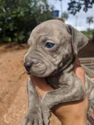 Filhote de Pitbull com Cane corso