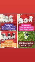 Título do anúncio: Canil casa dos cães disponibiliza lindos filhotes...