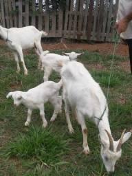 Título do anúncio: Vendo lote de cabras e bode