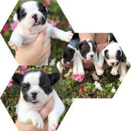Título do anúncio: Bulldog frances com pedigree disponível
