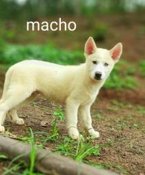 Título do anúncio: Husky Siberiano padrão filhotes disponíveis