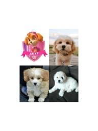 Título do anúncio: Filhote igual a Skye da Patrulha Canina - Shih-poo