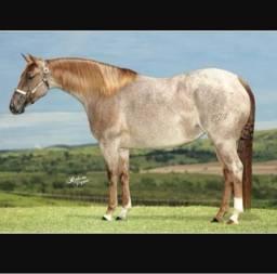 Cavalo crioulo - quarto de milha