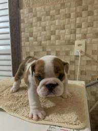 Bulldog Ingles - Macho