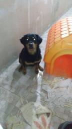 Vendo Rottweiler Fêmea