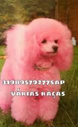 Título do anúncio: Cães em BH Poodle Pug Maltês Yorkshire Pinscher