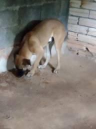 Título do anúncio: Cachorro da raça fila com vira lata