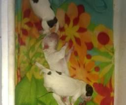 Filhotes de pitbull disponiveis duas femeas