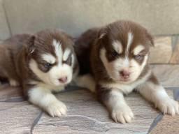 Título do anúncio: Husky siberiano com pedigree disponível