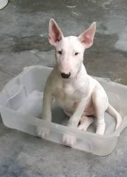 Título do anúncio: Filhote Bull terrier inglês