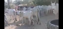 Título do anúncio: Vendo 87 vacas de 3 crias