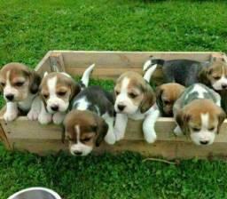 """Título do anúncio: Filhotes Lindos Beagle 13"""" Recibo Garantia Pedigree"""