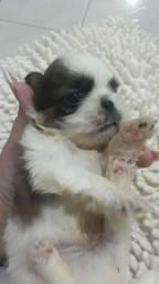 Título do anúncio: Senha do cachorro shih-tzu macho porte pequeno pequeno r$ 300