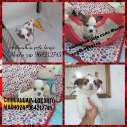 Chihuahua bellos